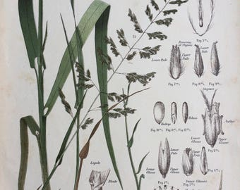 1889 Original Antique Botanical Chromolithograph - Reed Canary Grass - Forage Plants - Botanical Print - Agrostology - Wall Decor