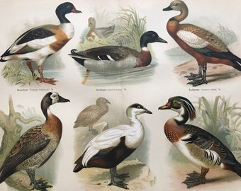 1897 Ducks Large Original Antique Lithograph - Available Mounted and Matted - Bird Art - Ornithology - Vintage Wall Decor