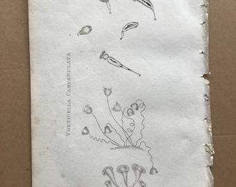 1809 Vorticella Rotatoria, Vorticella Campanulata, Vorticella Stentorea Original Antique Engraving - Marine Decor - Protozoa - Organism