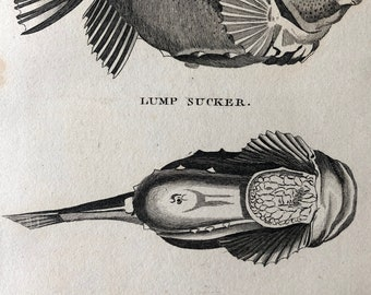 1812 Lump Sucker and Unctuous Sucker Original Antique Engraving - Ichthyology - Fish Art - Fishing Cabin Decor - Available Framed
