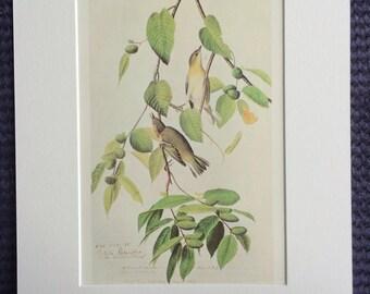 1966 Bay-Breasted Warbler Original Vintage Audubon Print, Available Framed 14 x 11 inches, Bird Decor, Vintage Decor, Ornithology