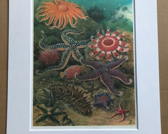 1988 Starfish Original Vintage Print - Ocean Wildlife - Marine Decor - Mounted and Matted - Available Framed