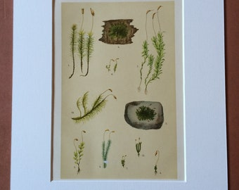 1911 Original Antique Botanical Lithograph - Mounted and Matted - Moss - Lichen - Plant - Botany - Gardener Gift - Available Framed
