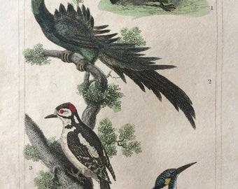 1821 Original Antique Hand-Coloured Engraving - Hoopoe, Promerops, Woodpecker, Kingfisher - Bird Print - Natural History - Framed Art