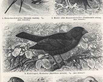 1897 Barn Swallow, Cowbird, Hawfinch, Yellowhammer Original Antique Print - Mounted and Matted - Ornithology - Bird Art - Available Framed