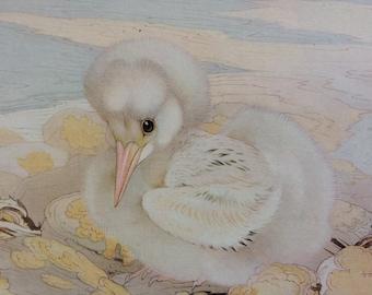 1919 Tropic Bird Original Antique Matted Illustration by Edmund J. Detmold - Ornithology - Baby Birds - Bird Art - Decorative Wall Art