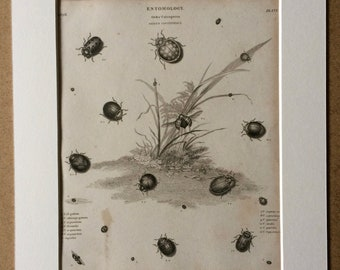 1819 Ladybird Varieties Original Antique Engraving - Available Mounted and Matted - Coccinella - Insect - Entomology - Framed