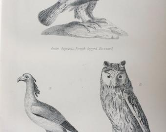 1891 Birds - Buzzard, Secretary Bird, Long Eared Owl Original Antique Steel Engraving - Encyclopaedia Illustration - Ornithology