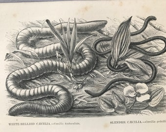 1863 White-Bellied and Slender Caecilias Original Antique Print - Serpent Amphibian - Caecilian - Mounted and Matted - Available Framed