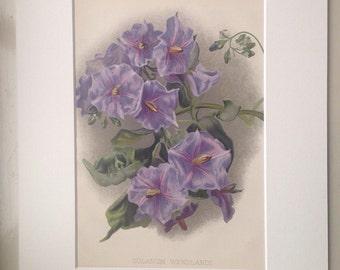1900 Beautiful Large Original Antique Botanical Lithograph - Solanum Wendlandi - Horticulture - Gardening - Botany