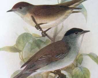 1907 Blackcap Original Antique Lithograph - Ornithology - British Birds - Wildlife Decor - Decorative Print - Available Matted