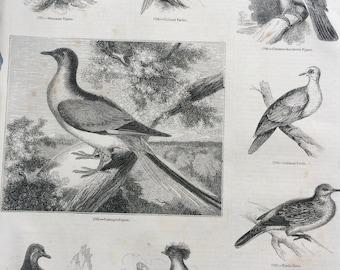 1856 Large Original Antique Bird Engraving - Passenger Pigeon, Turtle Dove, Rock Dove, Manasope Pigeon - Ornithology - Wall Decor