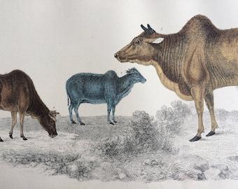1852 Original Antique Hand-Coloured Engraving - Common Zebu and Small Zebu - Cattle - Natural History - Decorative Print
