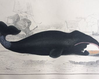 1852 Original Antique Hand-Coloured Engraving - The True Whale (True's Beaked Whale) Sea Mammals - Marine Wildlife - Available Framed