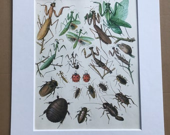 1984 Praying Mantises and Cockroaches Original Vintage Print - Praying Mantis Cockroach - Insect Art - Mounted and Matted - Available Framed