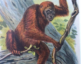 1896 Orangutan Original Antique Chromolithograph - Monkey - Mammal - Zoology - Natural History - Wildlife Decor - Available Framed