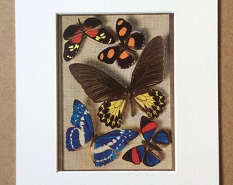 1940s Butterflies Original Vintage Print - Mounted and Matted - Lepidoptera - Entomology - Framed Vintage Butterfly Art