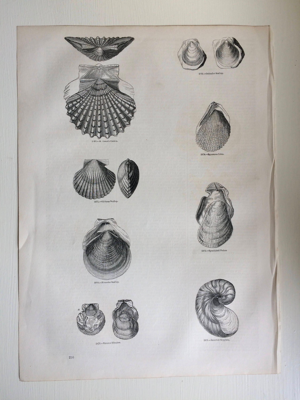Shellfish Home Decor Conchology Wall Decor 1856 Large Original Antique Sea Shell Engraving Marine Wildlife Marine Decor