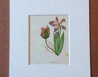 1852 Original Antique Hand-Coloured Anne Pratt Botanical Illustration - Stinking Iris - Flower - Botany - Garden - Available Framed