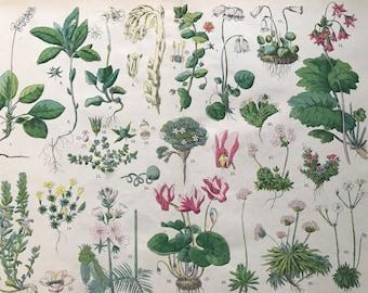 1880 Large Original Antique Botanical Lithograph - Botanical Print - Botany - Plants - Botanical Art - Wall Decor - Chickweed Wintergreen