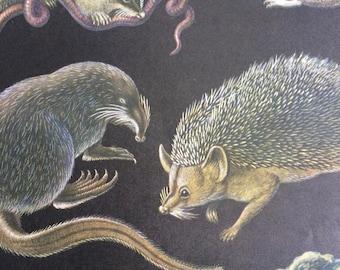 1968 Colourful Vintage Animal Print - Hedgehog, Shrew, Mole - Available Framed - 14 x 11 inches - Wildlife