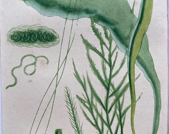 1857 Seaweed Original Antique Print - Algae - Mounted and Matted - Available Framed - Marine Decor - Ocean Decor