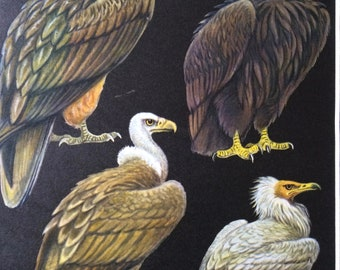 1968 Original Vintage Bird Print - Mounted and Matted - Bearded, Cinereous, Griffon & Egyptian Vultures - Ornithology - Available Framed