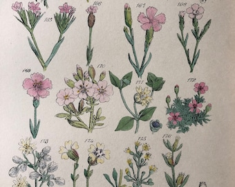1914 Original Antique Hand-Coloured Engraving - British Wild Flowers - Mounted and Matted - Carnation - Campion - Available Framed