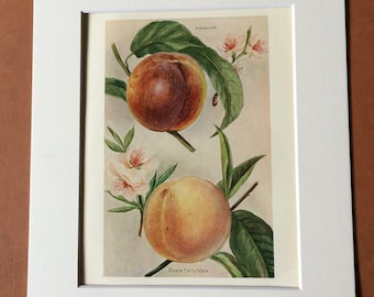 1924 Peach Varieties Original Vintage Fruit Print - Country Kitchen Decor - Culinary Gift - Mounted and Matted - Available Framed