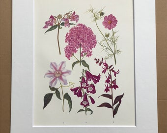 1924 Original Vintage Botanical Print - Phlox, Cosmos, Clematis, Lobelia - Garden - Horticulture - Mounted and Matted - Available Framed