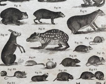 1806 Rodents Original Antique Engraving - Mounted and Matted - Available Framed
