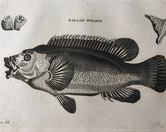 1812 Ballan Wrasse Original Antique Engraving - Ichthyology - Fish Art - Fishing Cabin Decor - Available Framed