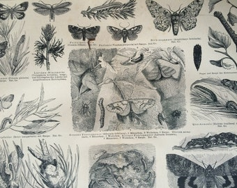 1878 Butterflies Large Original Antique print - Available Mounted and Matted - Lepidoptera - Butterfly - Insect Art - Victorian Decor