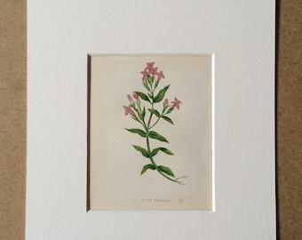 1852 Original Antique Hand-Coloured Anne Pratt Botanical Illustration - Field Gentian - Flower - Botany - Garden - Available Framed