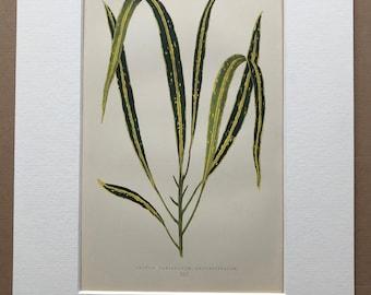 1872 Original Antique Hand Coloured Botanical Illustration - Botany - Beautiful Leaved Plant - Croton Variegatum - Available Matted & Framed