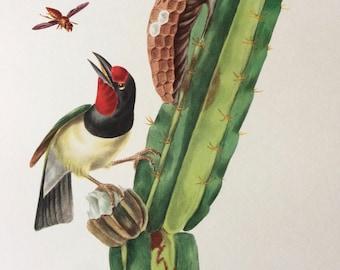 1960 Large Original Vintage Bird Print, 11.5 x 17 inches, Cabezon a Plastron Noir, Vintage Decor, Ornithology, Tropical Colourful Wall Art