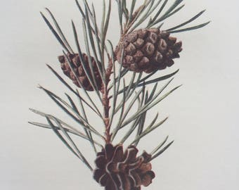 1902 Original Antique Matted Botanical Lithograph - Scotch Pine - Botany - Wild Fruit - Flower - Edward Hulme - English Countryside