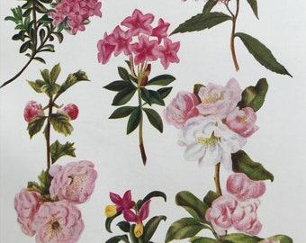 1924 Original Vintage Botanical Print - Milkwort, Chinese Apple Blossom - Garden - Horticulture - Mounted and Matted - Available Framed