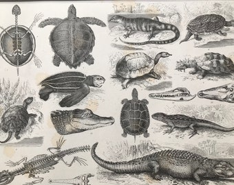 1869 Reptiles Large Original Antique Illustration - Tortoise, Crocdile, Turtle, Skeleton - Natural History - Mounted and Matted