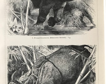 1897 Rhinoceros Original Antique Print - Mounted and Matted - Indian Rhinoceros and Black Rhinoceros - Wildlife Decor - Available Framed
