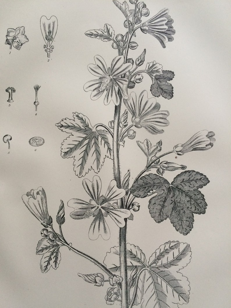 1875 Common Mallow Original Antique Matted Engraving Vintage Wall Decor Matted /& Available Framed Botanical Decor Botany
