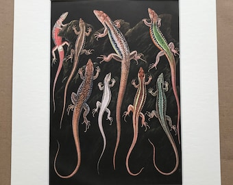 1968 Lizards Original Vintage Print - Mounted and Matted - Reptile Art - Available Framed