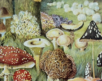 1940s Quaint Fungi of Woodland and Meadow Original Vintage Print - Mounted and Matted - Fungi - Mycology - Available Framed