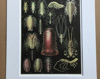 1988 Isopod Crustaceans Original Vintage Print - Ocean Wildlife - Marine Decor - Mounted and Matted - Available Framed