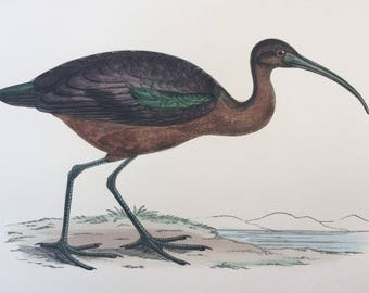 1903 Ibis Original Antique Matted Hand-Coloured Engraving - Ornithology - Available Framed - Wildlife - Decorative Art