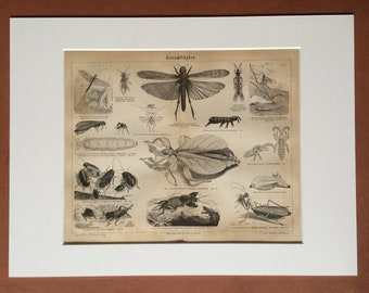 1876 Orthoptera Large Original Antique print - Available Mounted and Matted - Insect - Entomology - Victorian Decor