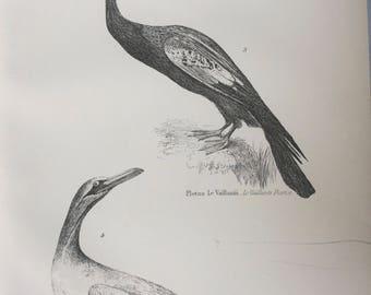 1891 Pellicanidae - Le Vaillants Darter & White Gannet Original Antique Steel Engraving - Encyclopaedia Illustration - Ornithology- Bird