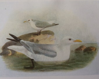 1907 Kittiwake Original Antique Lithograph - Ornithology - Bird Art - Birds -  Wall Decor - Home Decor - Wall Art - Wildlife