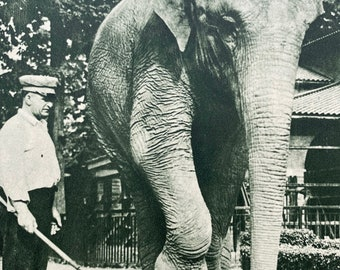 1950 An Elephant weighing several Tons standing on a Sheet of Plate Glass Original Vintage Print - Mounted and Matted - Available Framed