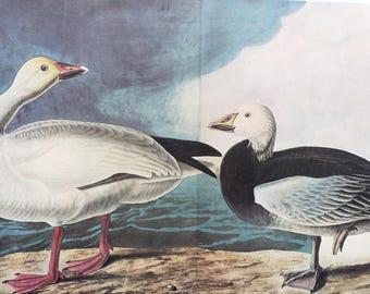 1966 Blue Goose and Snow Goose Original Large Vintage Audubon Print, 20 x 13 inches, Bird Decor, Vintage Decor, Ornithology
